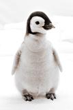 Cute Baby Penguin Reprodukcja zdjęcia