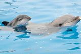 Bottlenose Dolphin with Calf Photographic Print by Mike Aguilera
