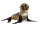 Baby Sea Lion Photographic Print