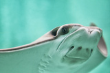 Cownose Ray Closeup Photographic Print by Mike Aguilera
