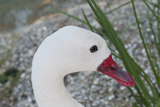 Swan Portrait Impressão fotográfica por Mike Aguilera