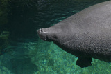 Manatee Swimming Photographic Print by Mike Aguilera