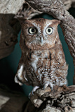 Screech Owl Photographic Print by Mike Aguilera