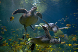 Green Sea Turtle Photographic Print by Mike Aguilera