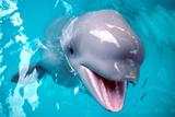 Baby Beluga Whale Photographic Print