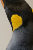 King Penguin Photographic Print by Mike Aguilera