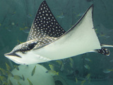 Spotted Eagle Ray Swimming Photographic Print by Mike Aguilera