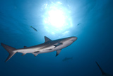 Sharks Swimming Photographic Print