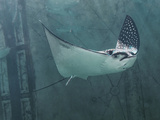 Spotted Eagle Ray Fotodruck von Mike Aguilera