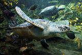 Green Sea Turtle Lámina fotográfica por Mike Aguilera