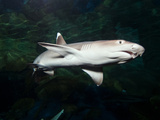 Whitetip Reef Shark Photographic Print by Mike Aguilera