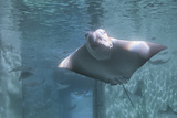 Cownose Ray Photographic Print by Mike Aguilera