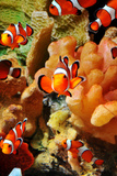 School of Clownfish Photographic Print
