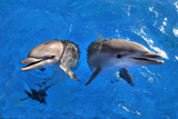 Bottlenose Dolphins Photographic Print by Mike Aguilera