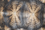 Tortoise Shell Closeup Photographic Print by Mike Aguilera