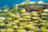 School of Yellow Fish Photographic Print
