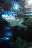 Sharks Swimming Photographic Print by Mike Aguilera