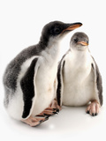 Baby Penguins Photographic Print
