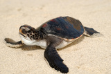 Baby Loggerhead Sea Turtle Photographic Print