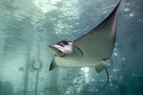 Spotted Eagle Rays Photographic Print by Mike Aguilera