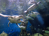 Sea Turtles Swimming Photographic Print by Mike Aguilera