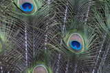 Peacock Feathers Photographic Print by Mike Aguilera