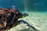 Hawksbill Sea Turtle Photographic Print by Mike Aguilera