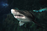 Sand Tiger Shark Photographic Print by Mike Aguilera