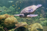 Sea Turtle Swimming Photographic Print by Mike Aguilera