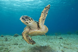 Sea Turtle Swimming Photographic Print