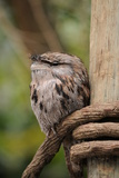 Tawny Frogmouth Owl Photographic Print