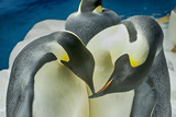Penguins Photographic Print by Mike Aguilera