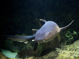 Nurse Shark Photographic Print by Mike Aguilera