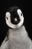 Cute Baby Penguin Photographic Print
