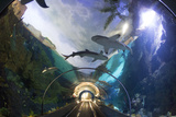 Shark  Aquarium Photographic Print