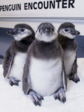 Magellanic Penguins Photographic Print by Mike Aguilera
