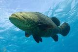 Grouper Swimming Photographic Print