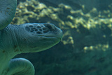 Sea Turtle Closeup Photographic Print by Mike Aguilera