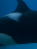 Killer Whale Detail Photographic Print