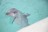 Dolphin Swimming Fotografisk trykk