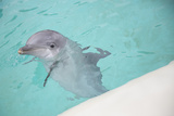 Dolphin Swimming Photographic Print