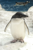 Adelie Penguin Photographic Print by Mike Aguilera