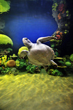 Beautiful Green Sea Turtle Photographic Print by Mike Aguilera