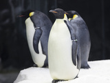 Emporer Penguins Photographic Print