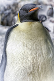 emperer Penguin Photographic Print by Mike Aguilera