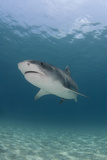 Shark Swimming Photographic Print