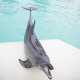 Dolphin Playing Photographic Print