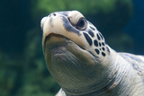 Green Sea Turtle Closeup Photographic Print by Mike Aguilera