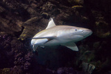 Blacktip Shark Photographic Print by Mike Aguilera