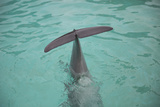 Dolphin Tail Photographic Print